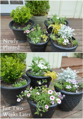 Spring pots newly planted and two weeks later - save money by buying smaller starts since they take off fast!