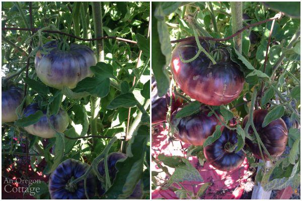 Indigo Blue Beauty Tomato