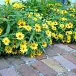 September Yellow Zinnias-An Oregon Cottage
