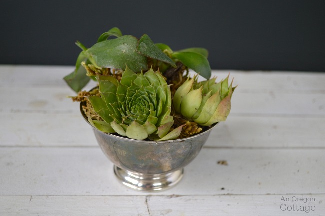 Succulents in vintage silver bowl