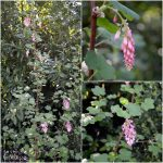 March Blooming flowering currant