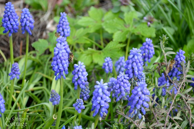 March cottage garden-grape hyacinth and bees