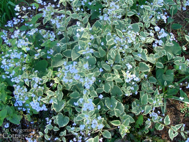 Best plants for every garden-Jack Frost Brunnera