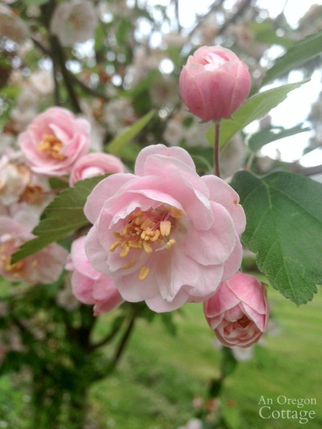 May Crabapple Blossoms
