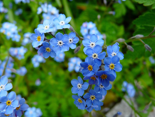 Plants to Avoid-Forget-Me-Not