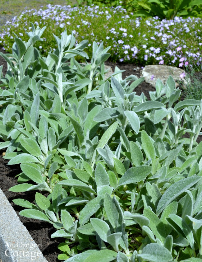 Plants to avoid-lambs ears