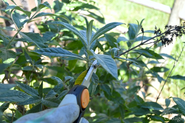 Prune shrubs with confidence-Clipping tips from Buddleia