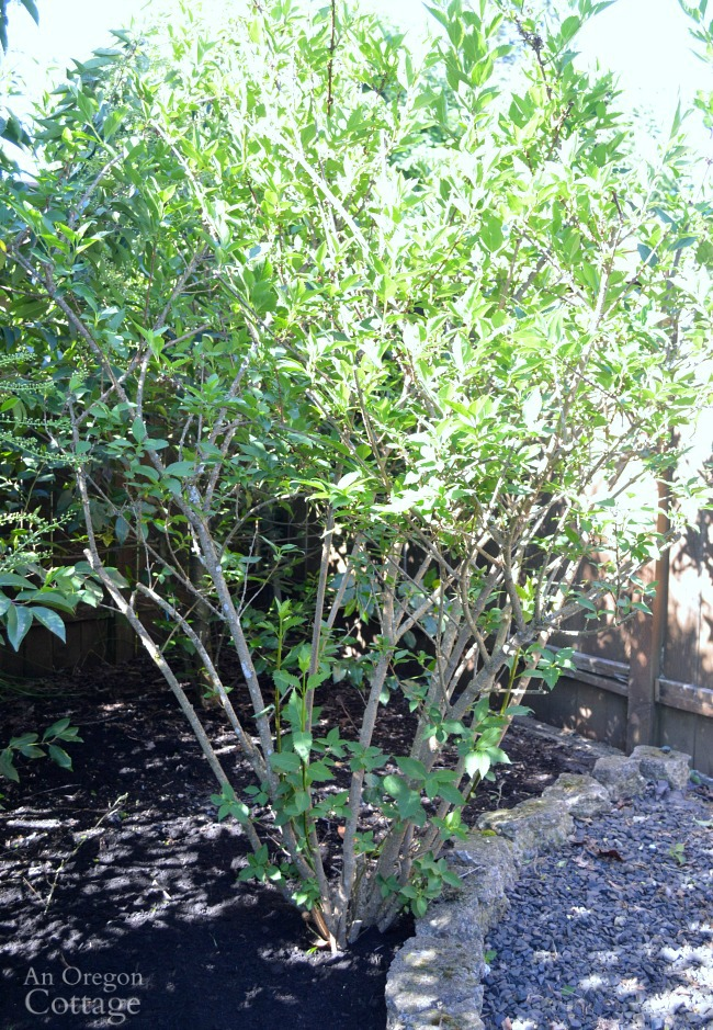 Prune shrubs with confidence-Forsythia after pruning