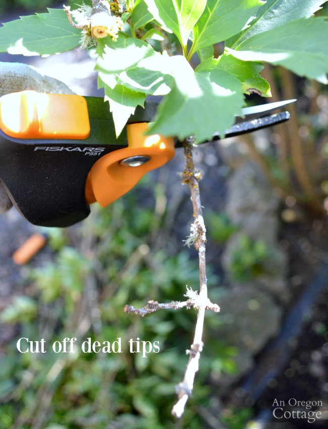 Prune shrubs with confidence-cut off dead tips