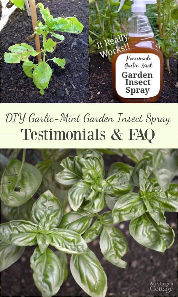 Click for DIY Garlic-Mint Garden Insect Spray reader testimonials and frequently asked questions- this easy-to-make spray recipe is another tool every organic gardener should have in their gardening arsenal.