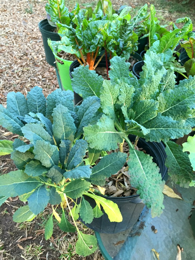 Healthy kale after using spray