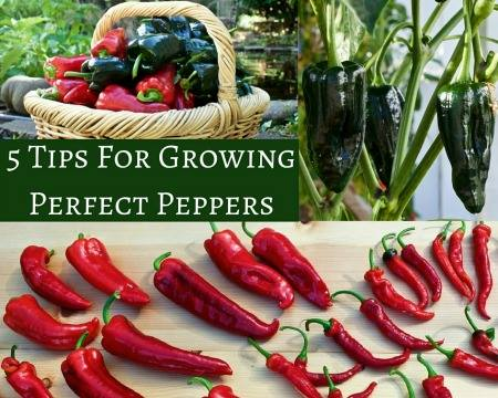 Tips for Growing Peppers via Homemade Food Junkie