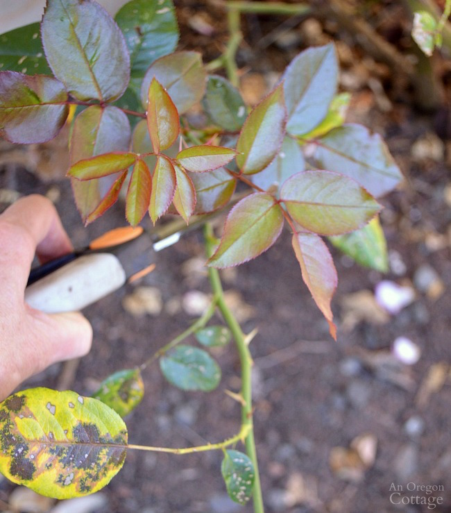 Pruning roses to new growth in summer