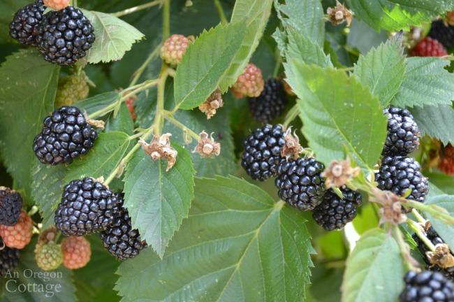 5 Reasons To Grow Triple Crown Thornless Blackberries