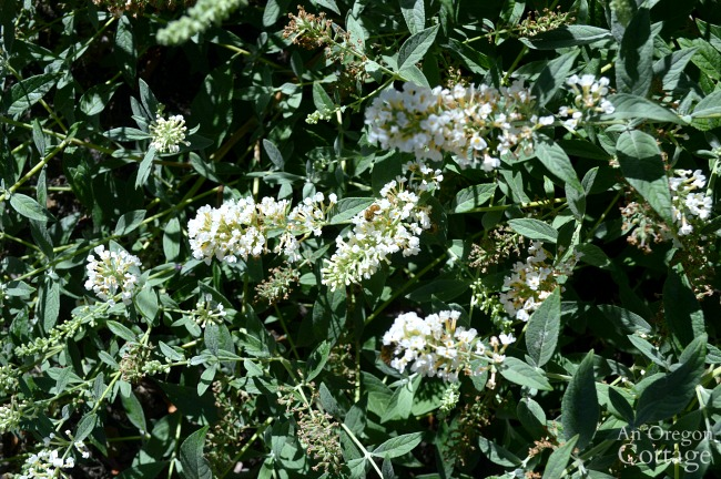 Lo & Behold Ice Chip Buddleia blossoms