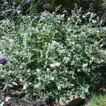 Ice Chip Buddleia in September