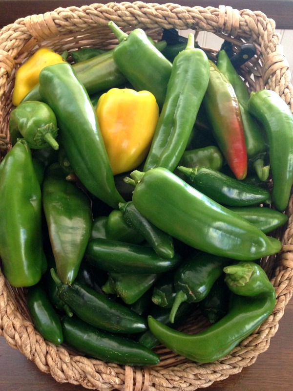 September hot pepper harvest from just 3 plants!