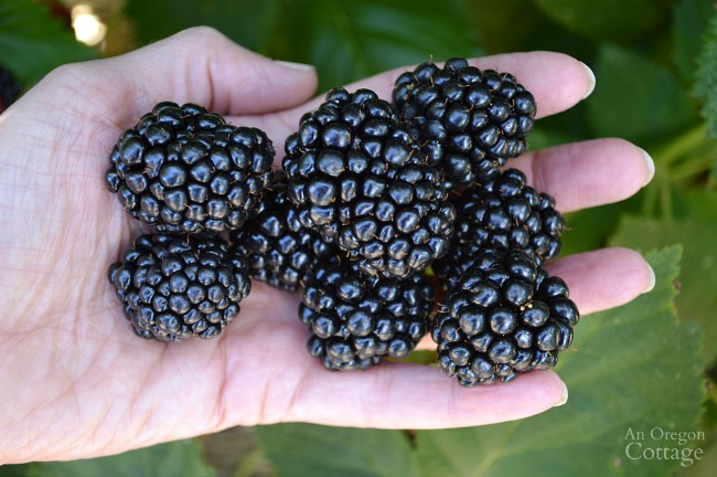 Gardening to Save Money-blackberries