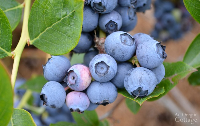 Ripe Blueberries growing on shrub