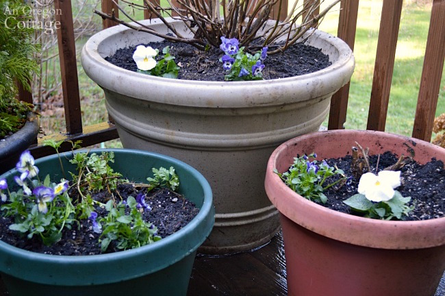 Flower pots for spring-pansy and viola pot fillers