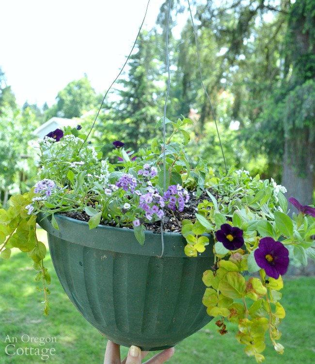 Newly planted hanging basket with calibrachoa, alyssum, and verbena