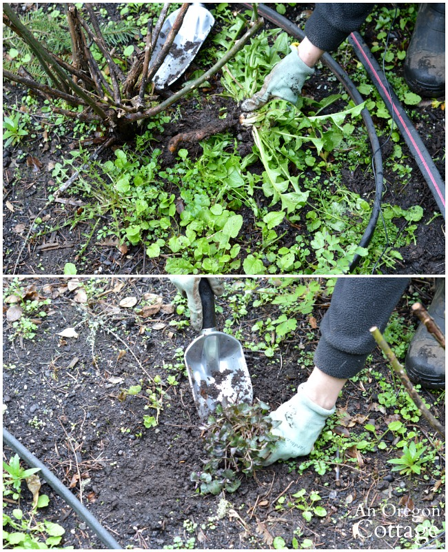 Spring garden cleanup-removing invasive weeds