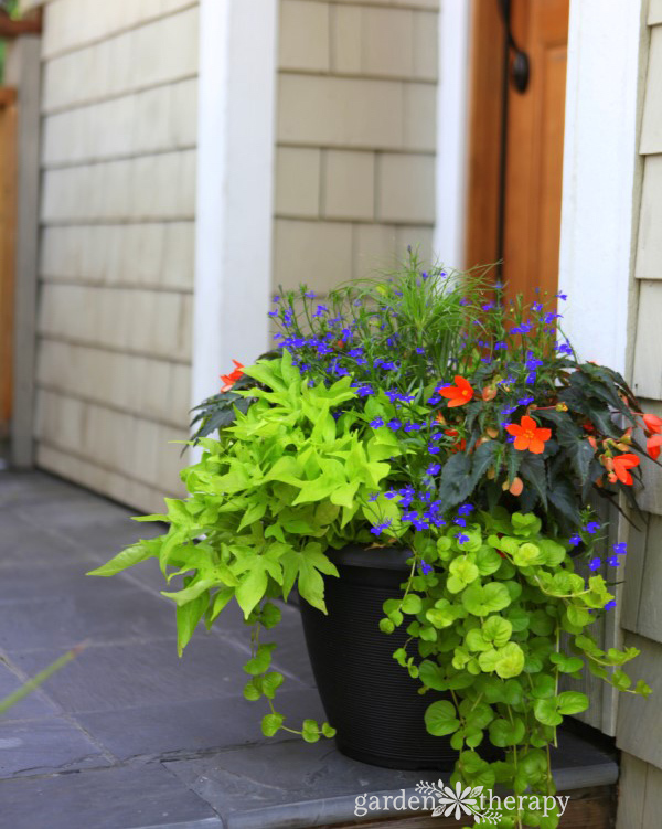 Container Gardening ideas for shade-creeping jenny sweet potato vine lobelia begonia at Garden Therapy