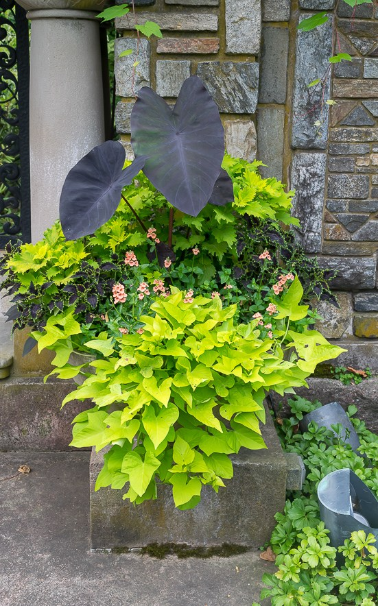 Container Gardening ideas for shade-elephant-ears-and-sweet-potato-vine at Nourish and Nestle