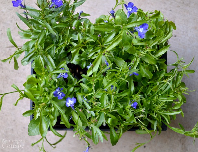 Flower Pot Design for Shade-trailing lobelia