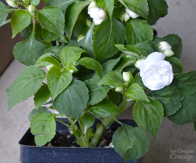 Flower Pot Design for Shade-white rose impatiens