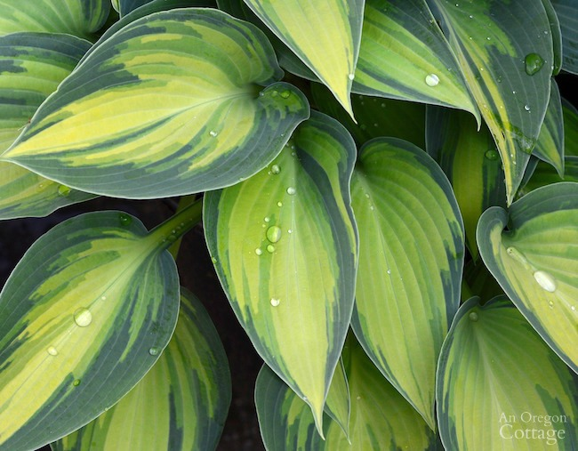 Gardening in the Shade-hosta