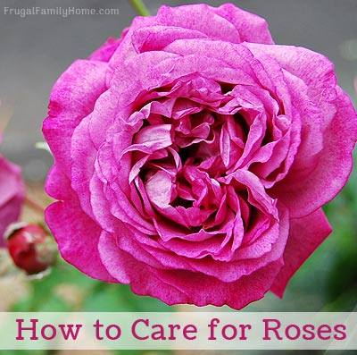How to Care for Roses at Frugal Family Home