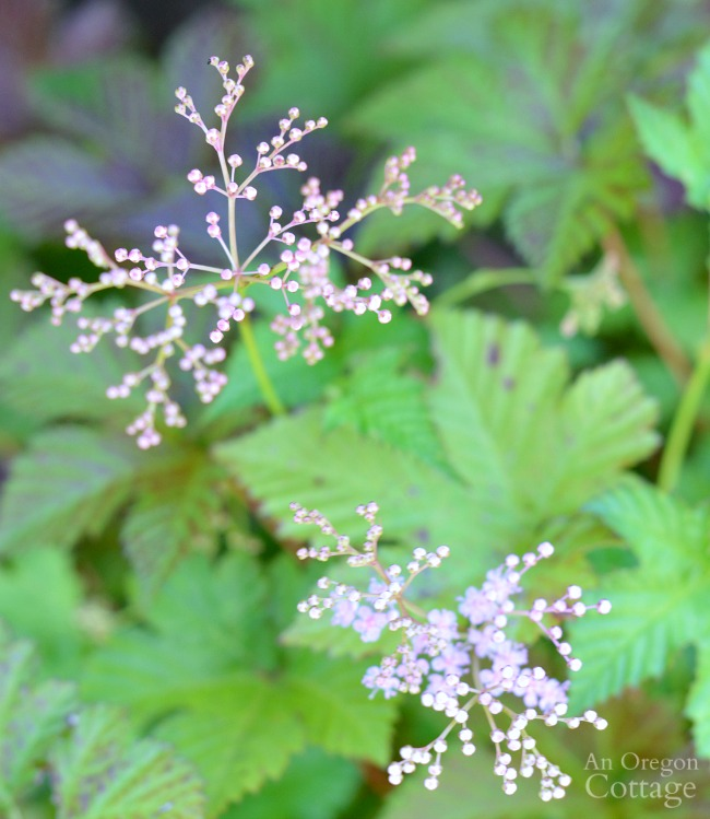 Plants for Gardening in the Shade-Foamflower
