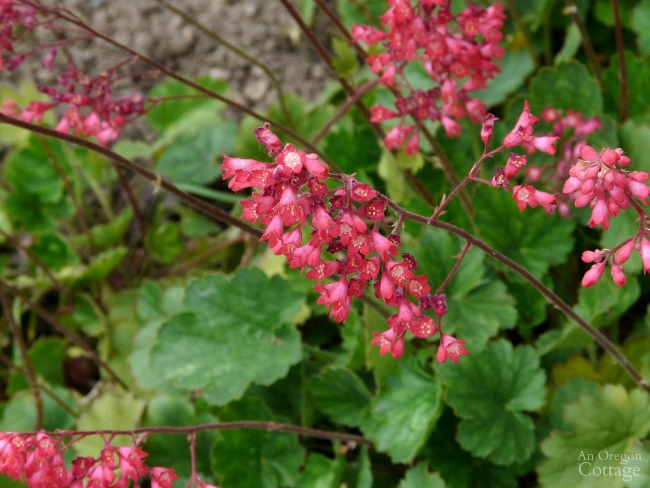 Plants for Gardening in the Shade-Heuchera-coral bells