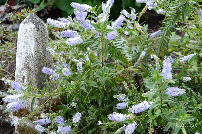 Plants for Gardening in the Shade-Purple Hebe