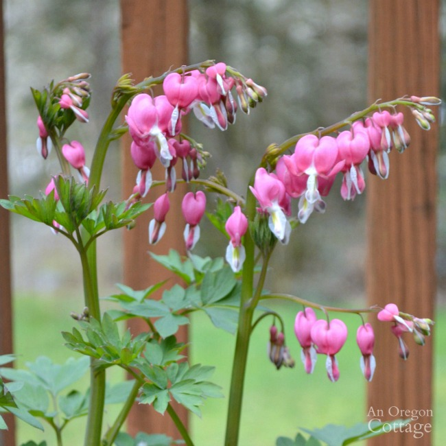 Plants for Gardening in the Shade-bleeding heart
