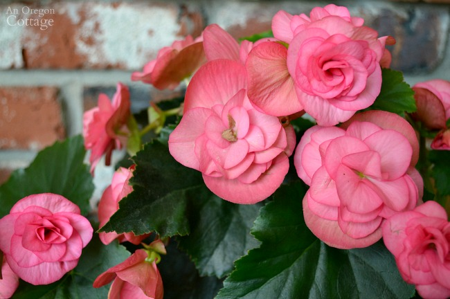 Plants for Gardening in the Shade-pink begonia