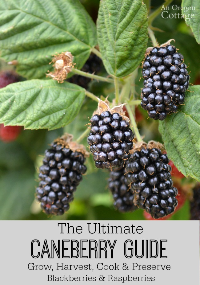 The Ultimate Caneberry Guide-growing blackberries