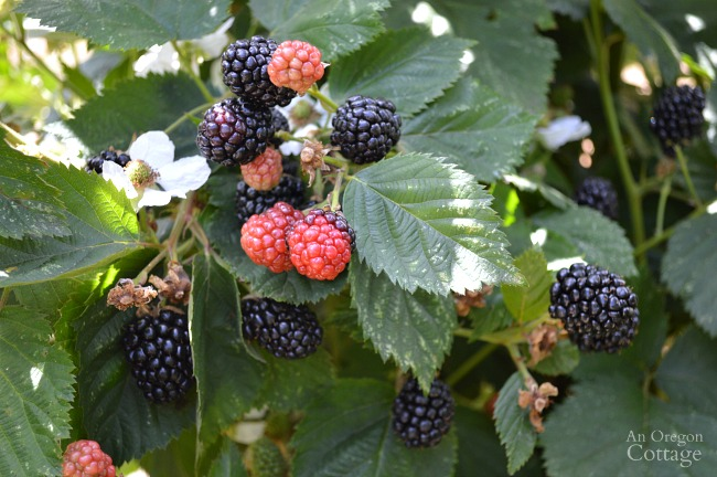 Ultimate Caneberry Guide-how to grow blackberries and raspberries