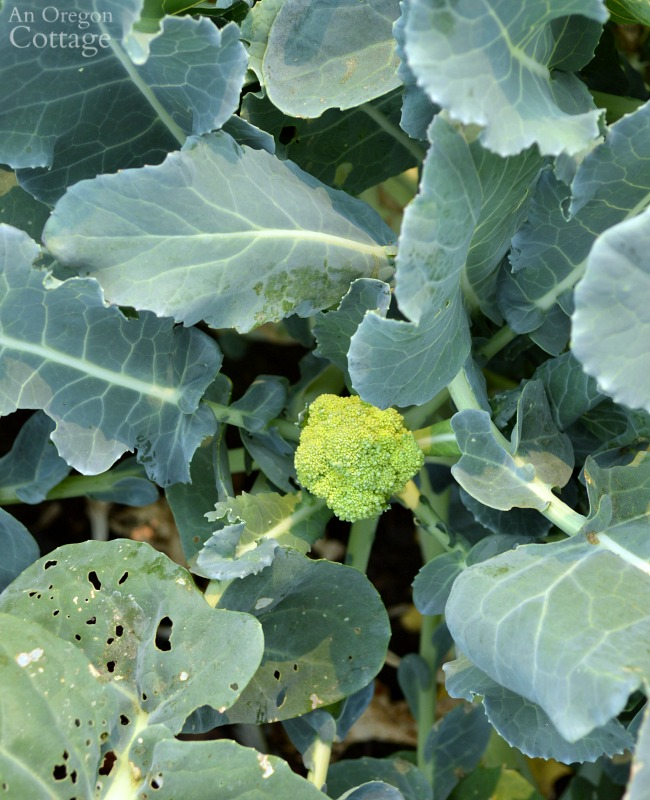 Ultimate Broccoli Guide-harvesting side shoots
