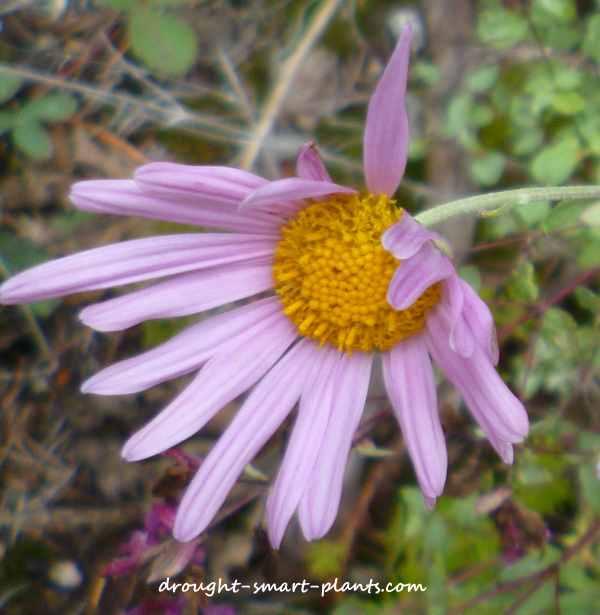 Fall gardening-fall garden aster at Drought Smart Plants
