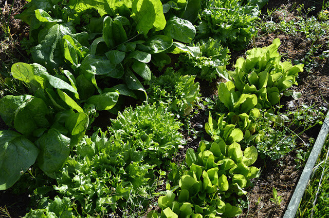 Fall gardening-vegetables to grow in autumn at Lovely Greens