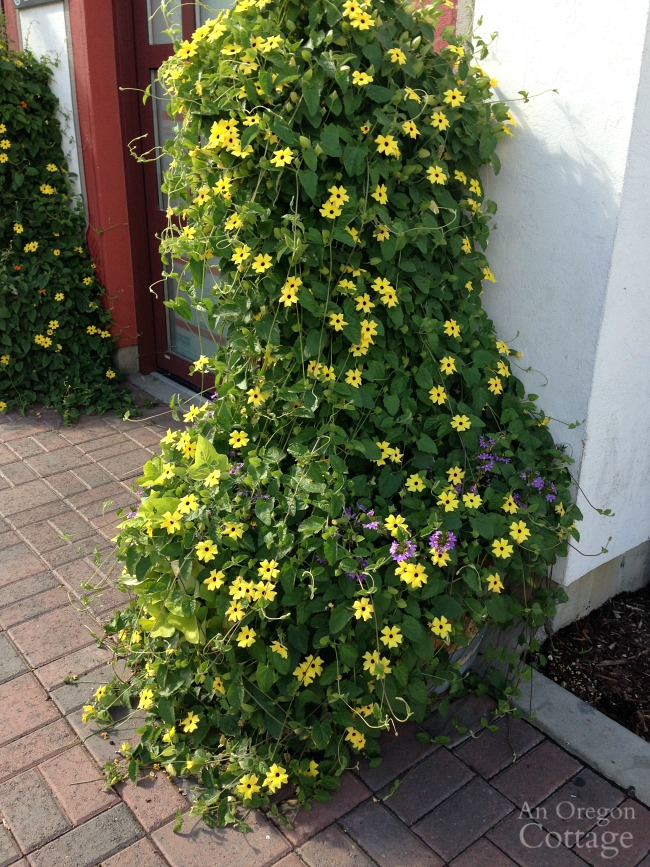 Leavenworth WA flowers-blackeyed susan vine topiary