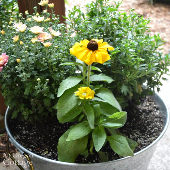 Simple fall galvanized planter with mums and rudbeckia