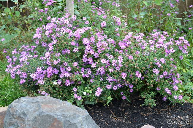Fall-winter garden tasks-weed and mulching asters