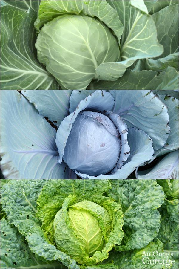 Three varieties of cabbage