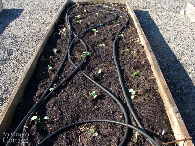 Raised bed of cauliflower and broccoli transplants in March.