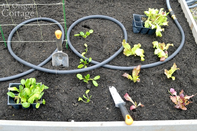 Planting spring vegetables in raised garden bed
