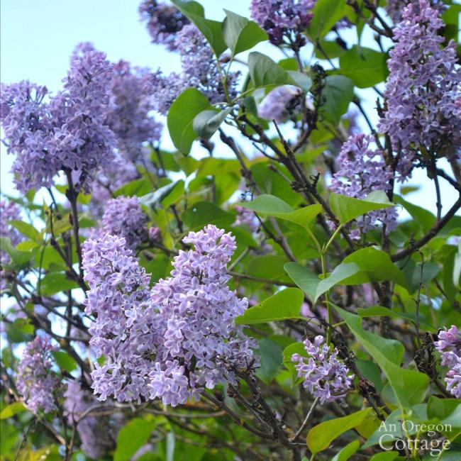 Farmhouse Fixer Lilacs in bloom