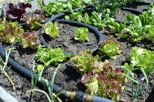 Garden Watering Tips-soaker hose vegetable bed